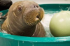 avatar_Arctic_Walrus
